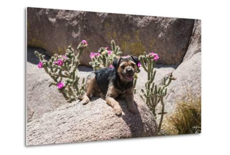 Border Terrier on Huge Boulders-Zandria Muench Beraldo-Metal Print