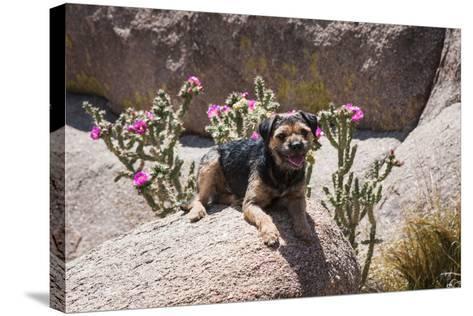 Border Terrier on Huge Boulders-Zandria Muench Beraldo-Stretched Canvas Print