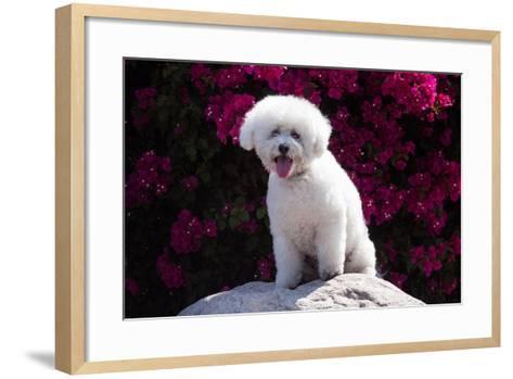 Bichon Frise Sitting on a Rock in Front of Flowers-Zandria Muench Beraldo-Framed Art Print