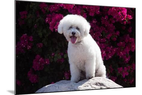 Bichon Frise Sitting on a Rock in Front of Flowers-Zandria Muench Beraldo-Mounted Photographic Print