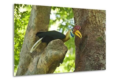 Sulawesi Knobbed Hornbill Male Adult at Nest Hole About to Pass Fig to Female Inside, Indonesia-David Slater-Metal Print