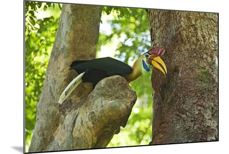 Sulawesi Knobbed Hornbill Male Adult at Nest Hole About to Pass Fig to Female Inside, Indonesia-David Slater-Mounted Photographic Print
