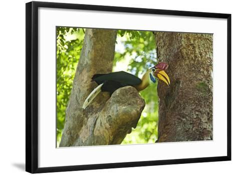 Sulawesi Knobbed Hornbill Male Adult at Nest Hole About to Pass Fig to Female Inside, Indonesia-David Slater-Framed Art Print