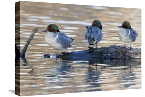 Green-Winged Teal Drakes Resting on a Log-Ken Archer-Stretched Canvas Print