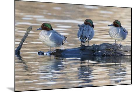 Green-Winged Teal Drakes Resting on a Log-Ken Archer-Mounted Photographic Print