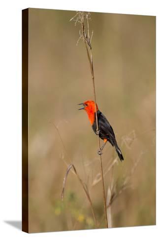 Brazil, Mato Grosso, the Pantanal, Scarlet-Headed Blackbird Singing-Ellen Goff-Stretched Canvas Print