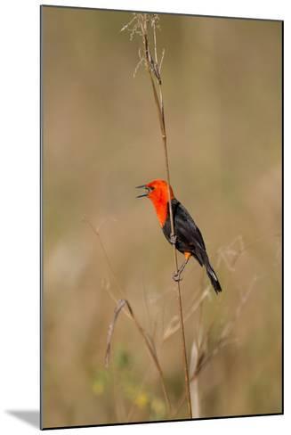 Brazil, Mato Grosso, the Pantanal, Scarlet-Headed Blackbird Singing-Ellen Goff-Mounted Photographic Print