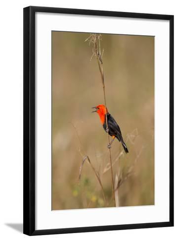 Brazil, Mato Grosso, the Pantanal, Scarlet-Headed Blackbird Singing-Ellen Goff-Framed Art Print