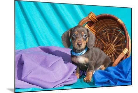 Doxen Puppy Posing-Zandria Muench Beraldo-Mounted Photographic Print