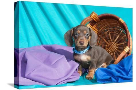 Doxen Puppy Posing-Zandria Muench Beraldo-Stretched Canvas Print