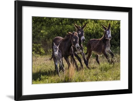 Wild Burros in Custer State Park, South Dakota, Usa-Chuck Haney-Framed Art Print