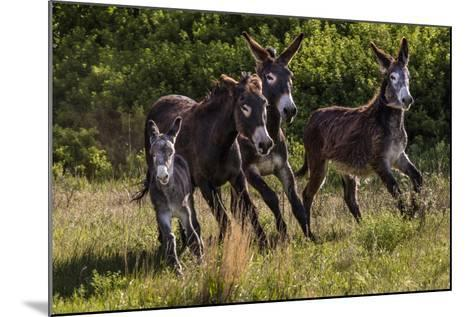 Wild Burros in Custer State Park, South Dakota, Usa-Chuck Haney-Mounted Photographic Print