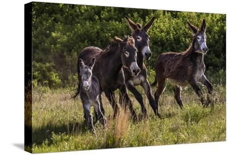 Wild Burros in Custer State Park, South Dakota, Usa-Chuck Haney-Stretched Canvas Print