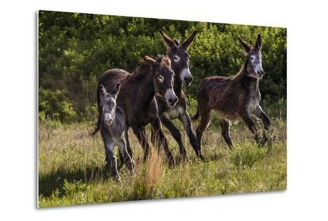 Wild Burros in Custer State Park, South Dakota, Usa-Chuck Haney-Metal Print