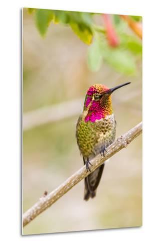 Arizona, Lake Havasu City. Male Anna's Hummingbird Displaying-Jaynes Gallery-Metal Print