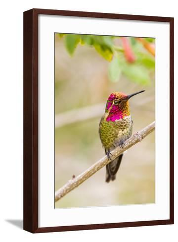 Arizona, Lake Havasu City. Male Anna's Hummingbird Displaying-Jaynes Gallery-Framed Art Print