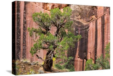 Utah, Capitol Reef National Park. Juniper Tree and a Cliff Streaked with Desert Varnish-Jaynes Gallery-Stretched Canvas Print