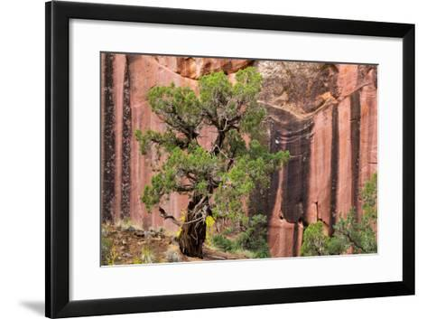 Utah, Capitol Reef National Park. Juniper Tree and a Cliff Streaked with Desert Varnish-Jaynes Gallery-Framed Art Print