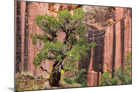 Utah, Capitol Reef National Park. Juniper Tree and a Cliff Streaked with Desert Varnish-Jaynes Gallery-Mounted Photographic Print