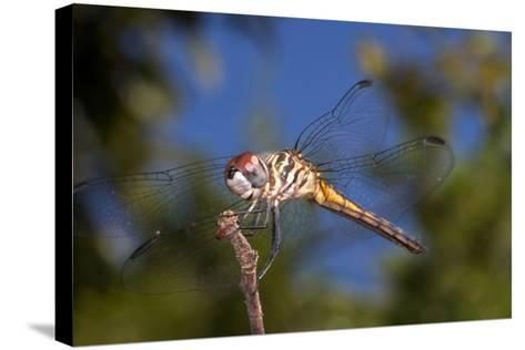 California. Dragonfly on Stem-Jaynes Gallery-Stretched Canvas Print