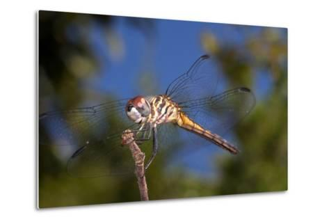 California. Dragonfly on Stem-Jaynes Gallery-Metal Print