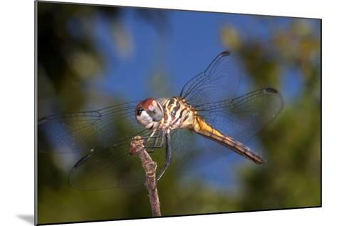 California. Dragonfly on Stem-Jaynes Gallery-Mounted Photographic Print