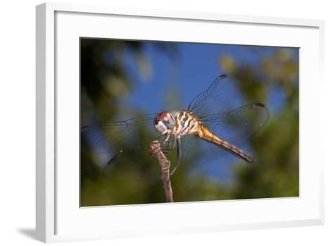 California. Dragonfly on Stem-Jaynes Gallery-Framed Art Print