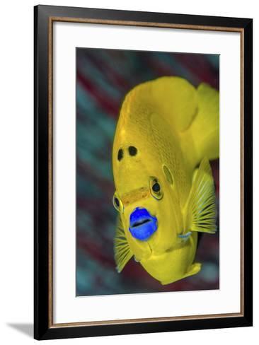 Indonesia, West Papua, Raja Ampat. Close-Up of Angelfish-Jaynes Gallery-Framed Art Print