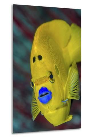 Indonesia, West Papua, Raja Ampat. Close-Up of Angelfish-Jaynes Gallery-Metal Print