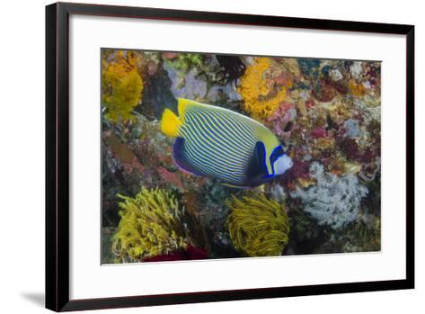Indonesia, Bima Bay. Angelfish and Coral-Jaynes Gallery-Framed Art Print