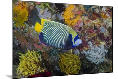 Indonesia, Bima Bay. Angelfish and Coral-Jaynes Gallery-Mounted Photographic Print