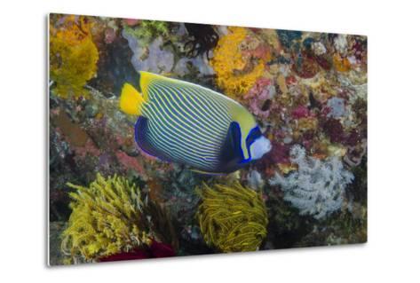 Indonesia, Bima Bay. Angelfish and Coral-Jaynes Gallery-Metal Print