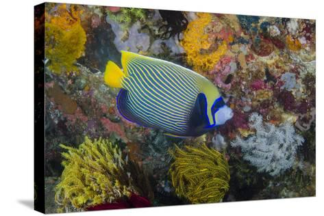 Indonesia, Bima Bay. Angelfish and Coral-Jaynes Gallery-Stretched Canvas Print