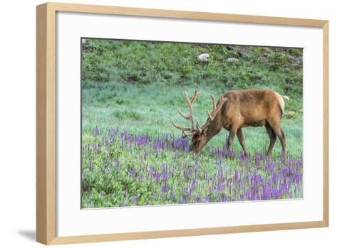Colorado, Rocky Mountain National Park. Bull Elk and Little Elephant's Head Flowers-Jaynes Gallery-Framed Art Print