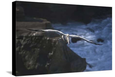 California, La Jolla. Brown Pelican Flying-Jaynes Gallery-Stretched Canvas Print
