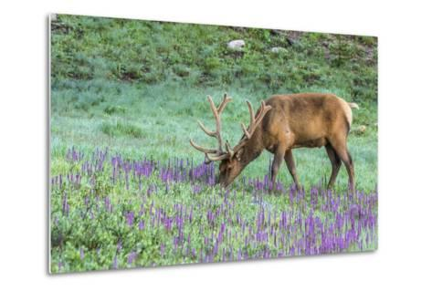 Colorado, Rocky Mountain National Park. Bull Elk and Little Elephant's Head Flowers-Jaynes Gallery-Metal Print