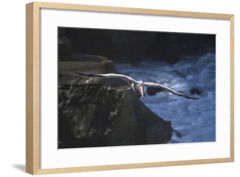 California, La Jolla. Brown Pelican Flying-Jaynes Gallery-Framed Art Print