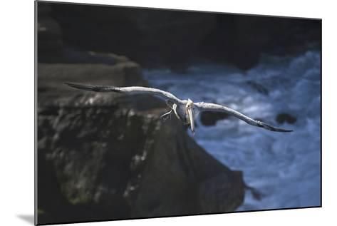 California, La Jolla. Brown Pelican Flying-Jaynes Gallery-Mounted Photographic Print