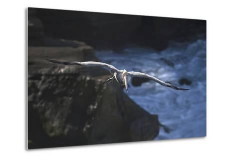 California, La Jolla. Brown Pelican Flying-Jaynes Gallery-Metal Print