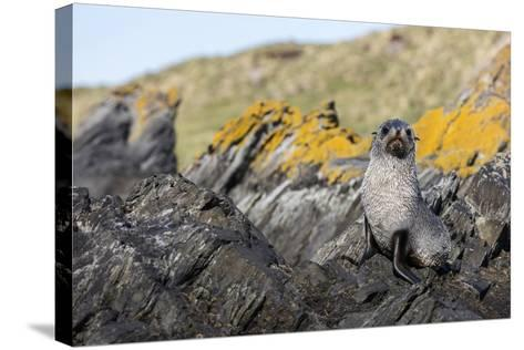 South Georgia Island, Ocean Harbor. Fur Seal Pup on Rocks-Jaynes Gallery-Stretched Canvas Print
