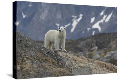 Europe, Norway, Svalbard. Polar Bear Walks across a Rocky Terrain-Jaynes Gallery-Stretched Canvas Print
