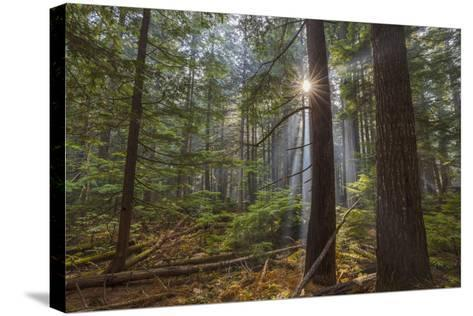 Sun Rays Penetrate Forest Floor at Ross Creed Cedar Grove in Kootenai National Forest, Montana-Chuck Haney-Stretched Canvas Print