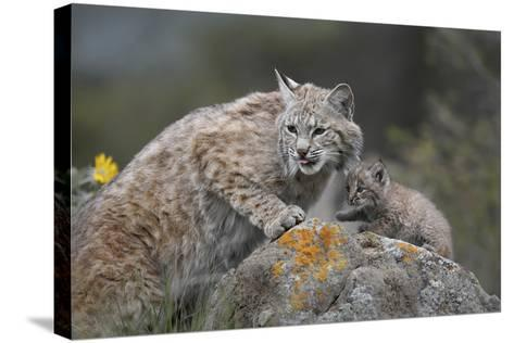 Bobcat Mother with its Kitten, Montana, Usa-Tim Fitzharris-Stretched Canvas Print