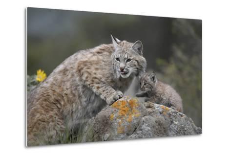 Bobcat Mother with its Kitten, Montana, Usa-Tim Fitzharris-Metal Print
