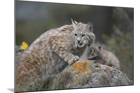 Bobcat Mother with its Kitten, Montana, Usa-Tim Fitzharris-Mounted Photographic Print