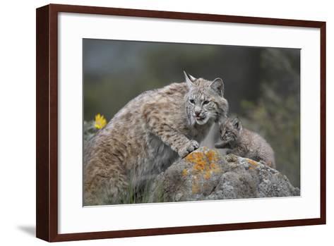 Bobcat Mother with its Kitten, Montana, Usa-Tim Fitzharris-Framed Art Print