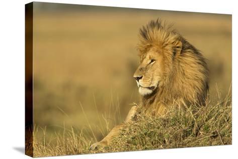 Adult Male Lion Resting on Termite Mound, Masai Mara, Kenya-Adam Jones-Stretched Canvas Print