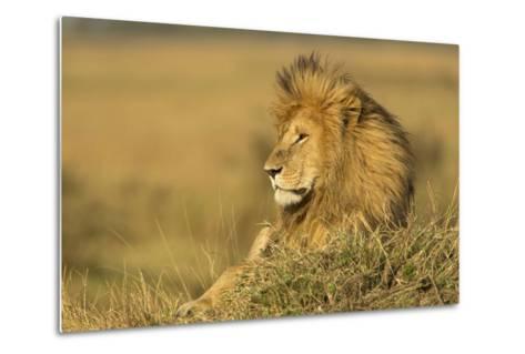 Adult Male Lion Resting on Termite Mound, Masai Mara, Kenya-Adam Jones-Metal Print