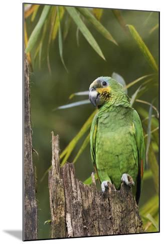Orange-Winged Parrot-Ken Archer-Mounted Photographic Print