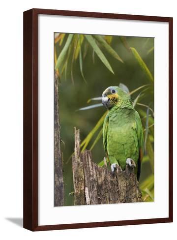 Orange-Winged Parrot-Ken Archer-Framed Art Print